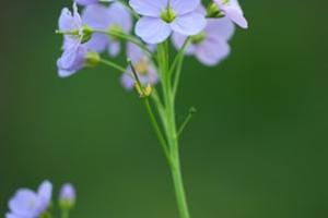 The wild cuckoo flower can be found in Kent hedgerows and meadows.